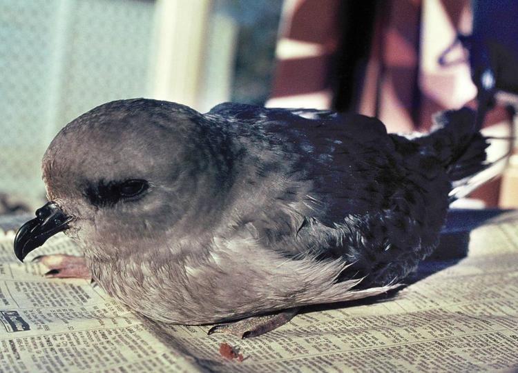 Kerguelen petrel Kerguelen petrel New Zealand Birds Online