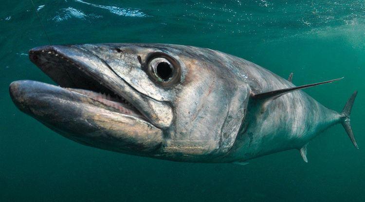 King mackerel 12 King Mackerel Fishing Tips Sport Fishing Magazine