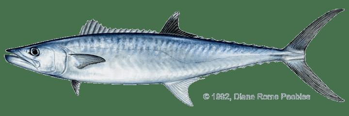 King mackerel mackerelkingpng