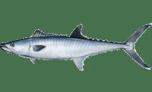 King mackerel httpsuploadwikimediaorgwikipediacommonsthu