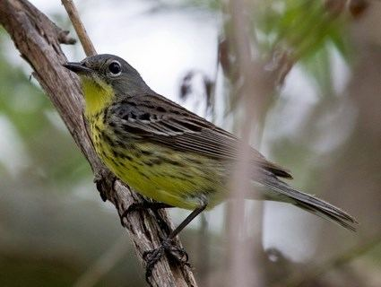 Kirtland's warbler Kirtland39s Warbler Identification All About Birds Cornell Lab of