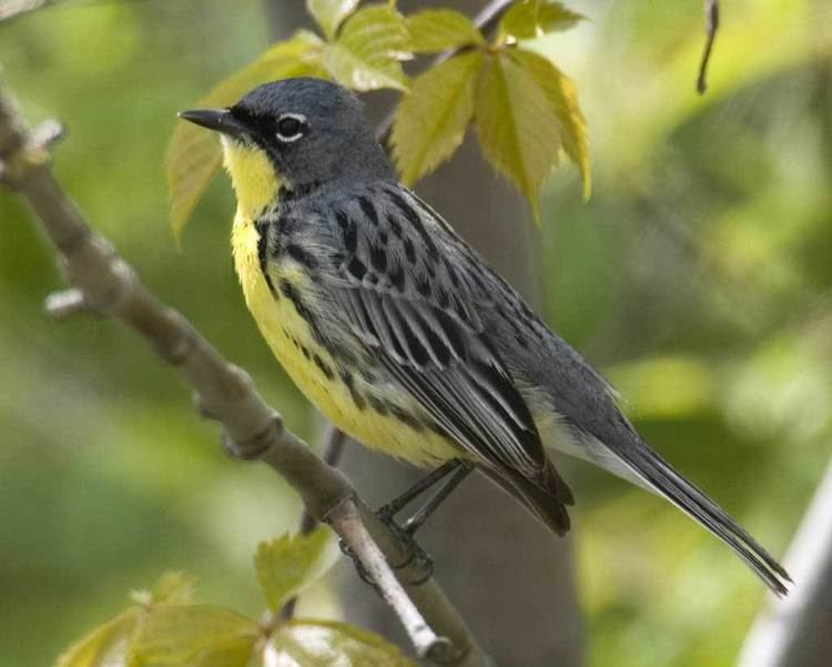 Kirtland's warbler Kirtland39s Warbler Audubon Field Guide