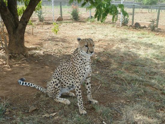 Kisumu Impala Sanctuary Lion in a cage Picture of Kisumu Impala Sanctuary Kisumu