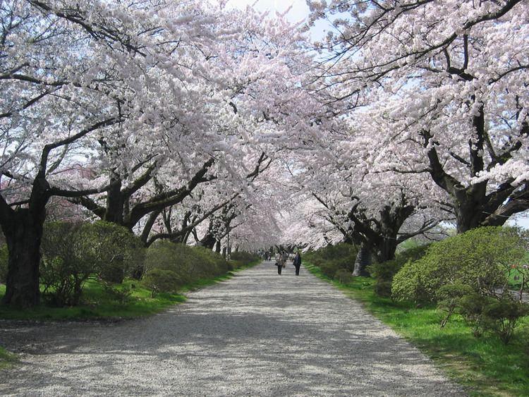 Cherry Blossoms Kitakami Iwate Pref
