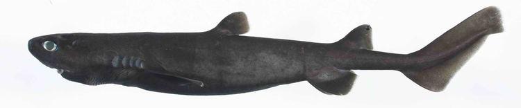 Kitefin shark DALATIIDAE