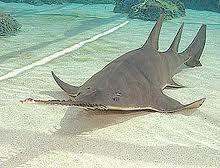 Knifetooth sawfish Sawfish Knifetooth Sawfish Dwarf Sawfish Green Sawfish Sawfish