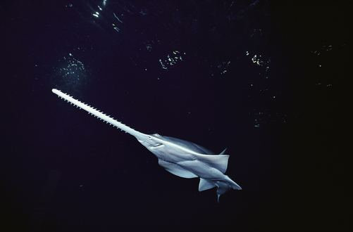 Knifetooth sawfish Knifetooth Sawfish Most Critically Endangered Pinterest