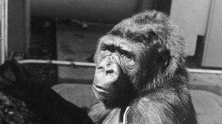 Koko: A Talking Gorilla Koko A Talking Gorilla 1978 The Criterion Collection