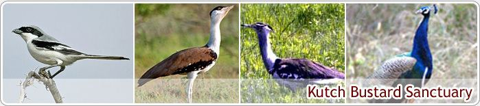 Kutch Bustard Sanctuary NRI Division About Gujarat Places of Interest Wildlife Kutch