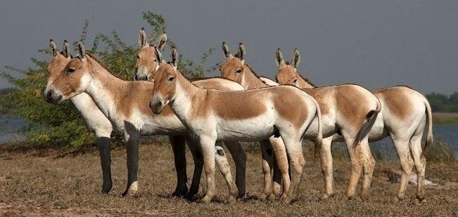 Kutch Desert Wildlife Sanctuary Kutch Desert Wildlife Sanctuary Wildlife in Gujarat