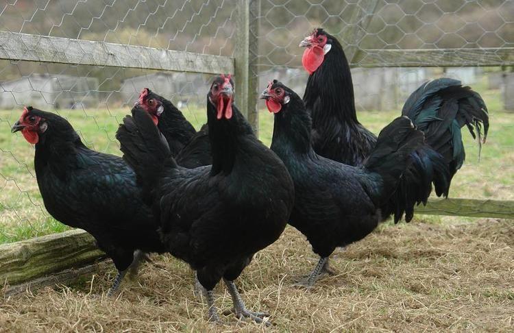 La Flèche chicken Backyard Poultry Forum View topic Are La Fleche chickens