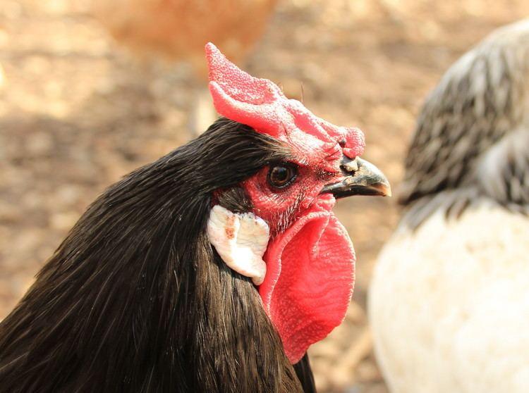 La Flèche chicken La Fleche For Sale Chickens Breed Information Omlet
