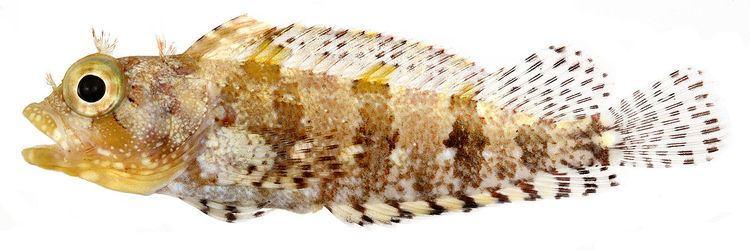 Labrisomus bucciferus