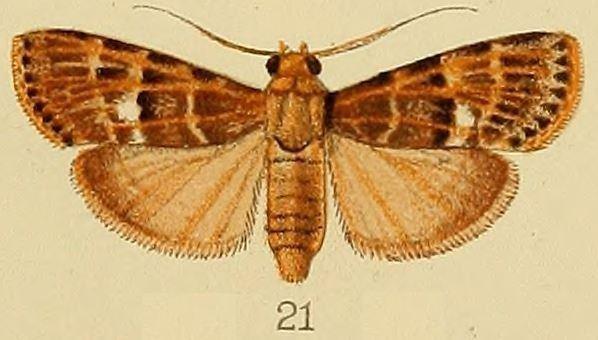 Lacalma porphyrealis