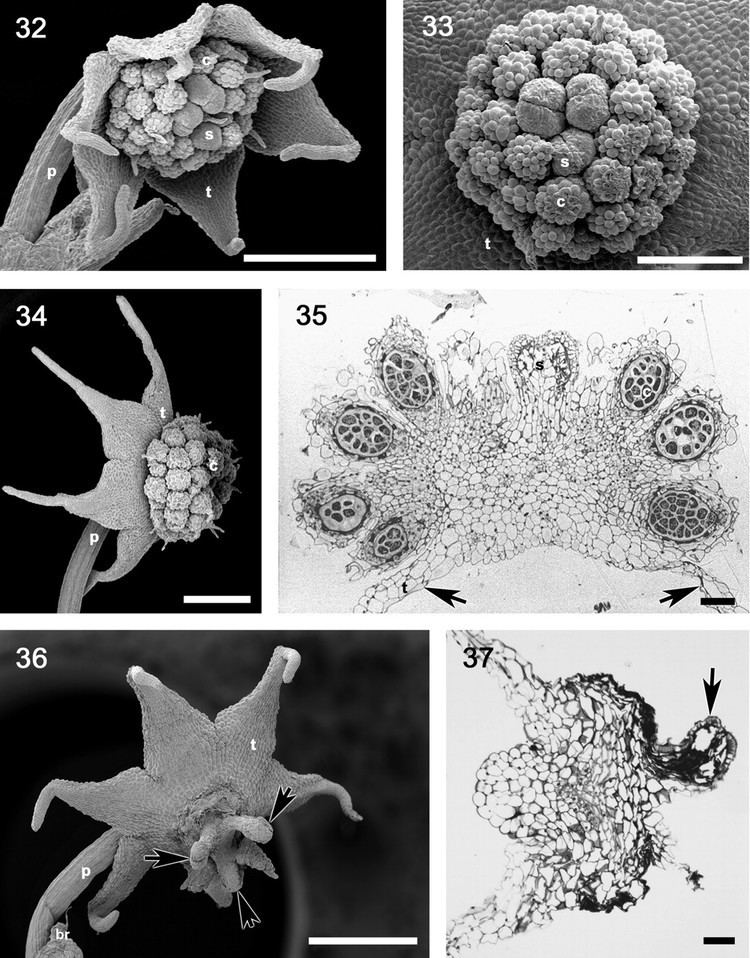 Lacandonia Comparative developmental series of the Mexican triurids support a