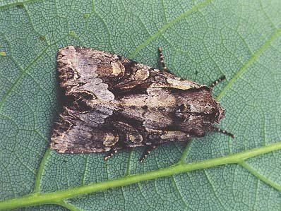 Lacanobia Light Brocade Lacanobia wlatinum UKMoths