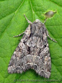 Lacanobia Lacanobia thalassina