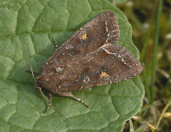 Lacanobia European Lepidoptera and their ecology Lacanobia oleracea
