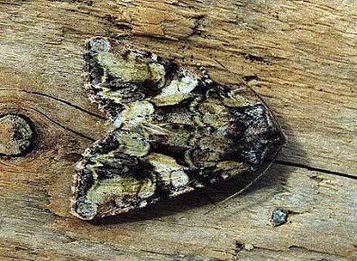 Lacanobia contigua wwwukmothsorguksiteassetsfiles178162156bea