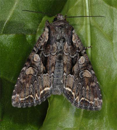 Lacanobia wwwpyrgusdebilder1noctuidaethalassinumfjpg