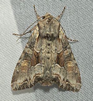 Lacanobia w-latinum httpsuploadwikimediaorgwikipediacommonsthu