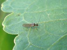 Lachesilla pedicularia httpsuploadwikimediaorgwikipediacommonsthu
