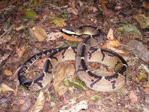 Lachesis stenophrys Lachesis stenophrys Bushmaster 2006 Brian Kubicki Costa Rica