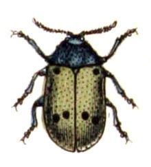 Lachnaia sexpunctata httpsuploadwikimediaorgwikipediacommonsthu