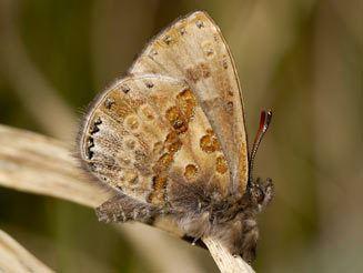 Lachnocnema wwwbiodiversityexplorerorgbutterflieslycaenida