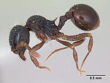 Lachnomyrmex victori httpsuploadwikimediaorgwikipediacommonsthu