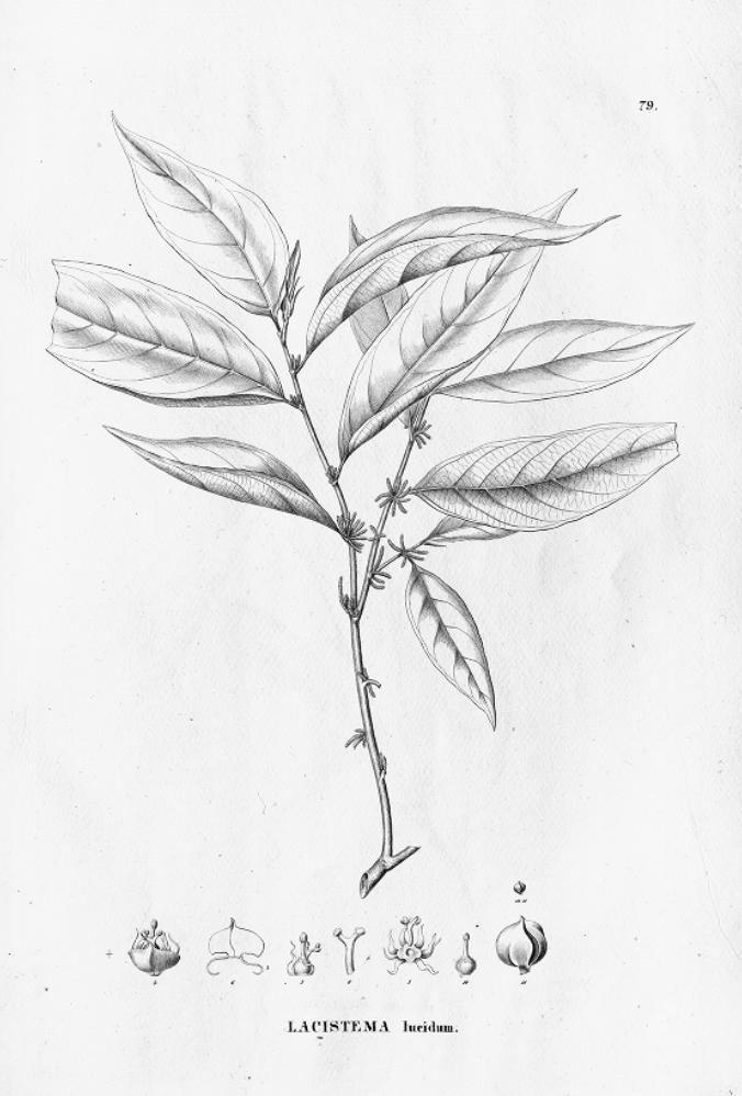 Lacistema lucidum