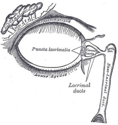 Lacrimal canaliculi
