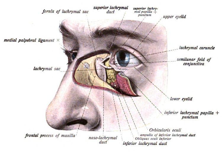 Lacrimal sac