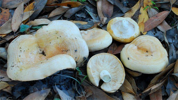 Lactarius alnicola Lactarius alnicola A