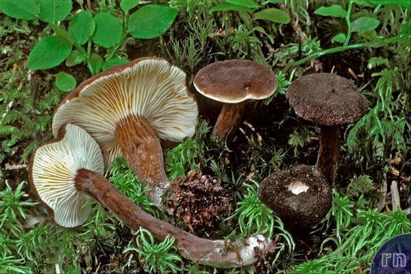 Lactarius lignyotus Russulales News Lactarius lignyotus