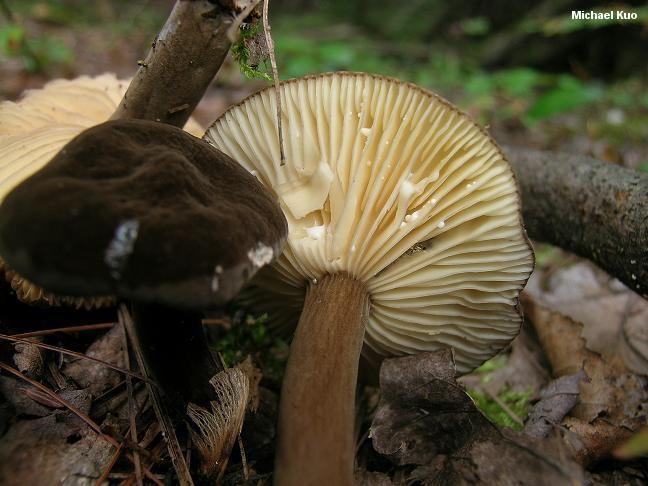 Lactarius lignyotus Lactarius lignyotus MushroomExpertCom