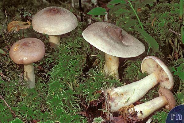 Lactarius uvidus Russulales News Lactarius uvidus