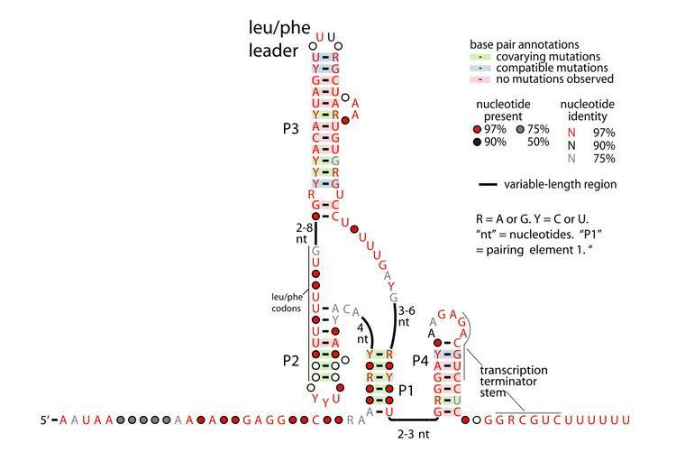 Lactis-leu-phe leader RNA motif