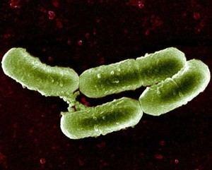 Lactobacillus sakei bacmapwishartlabcomsystemimages287mediumLac