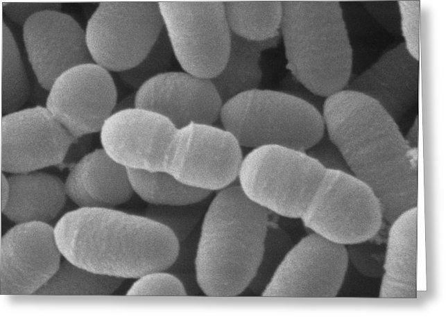 Lactobacillus sakei Sem Of Lactobacillus Sakei Photograph by Scimat
