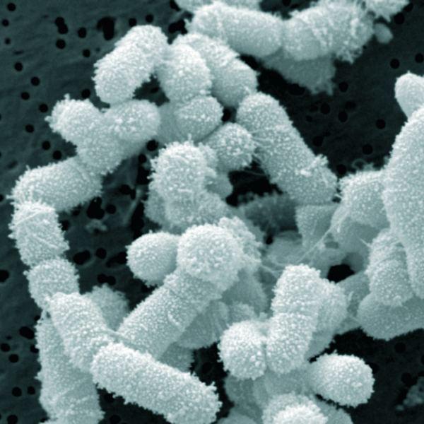 Lactobacillus sakei Lactobacillus sakei Lacto Bacto