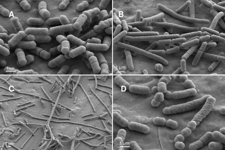 Lactobacillus sakei Behavior of the MeatBorne Bacterium Lactobacillus sakei during Its