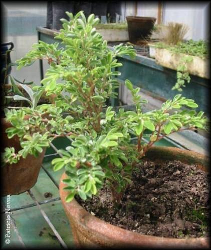 Lactoris Lactoris fernandeziana Arbustos Chilebosque