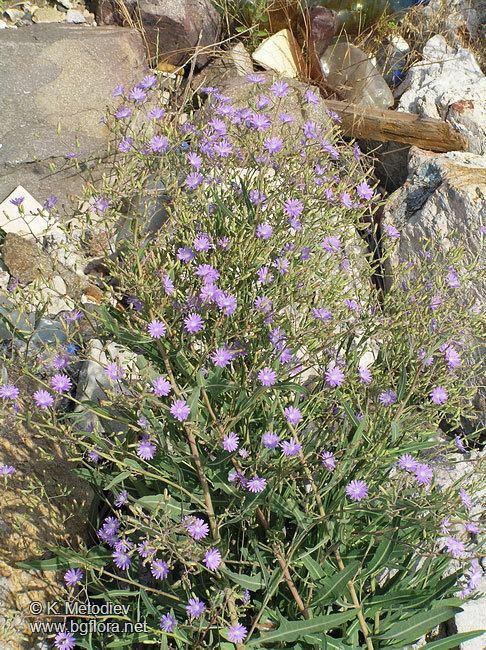 Lactuca tatarica The Bulgarian flora online Lactuca tatarica picture 8