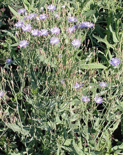 Lactuca tatarica AgroAtlas Weeds Lactuca tatarica L CAMey Tatar Lettuce