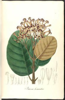 Ladenbergia httpsuploadwikimediaorgwikipediacommonsthu