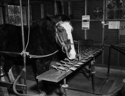 Lady Wonder Lady Wonder the quottalking horsequot of Virginia at her quottypewriter