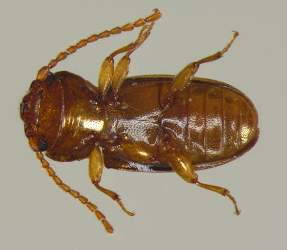Laemophloeidae Laemophloeidae ventral Laemophloeus fasciatus BugGuideNet
