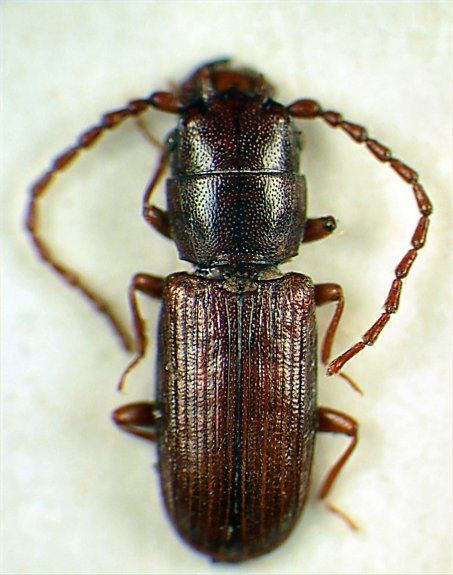 Laemophloeidae Genera of World Laemophloeidae