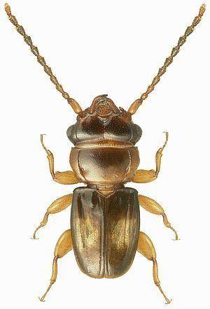 Laemophloeidae httpsuploadwikimediaorgwikipediacommonsthu